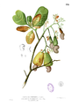 Anacardium occidentalis Blanco1.116.png