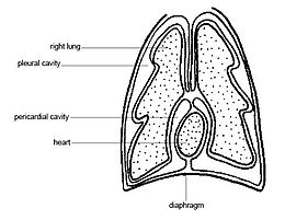 Anatomy and physiology of animals body cavities.jpg