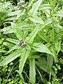 Anchusa arvensis 103596192.jpg