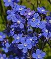 Anchusa azurea Flowers.JPG