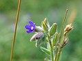 Anchusa officinalis 20060810 002.jpg