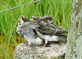 Andorinha-de-testa-branca (Tachycineta leucorrhoa) - Juvenis.jpg