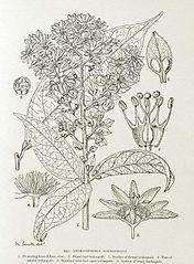File:Androsiphonia adenostegia-1906.jpg - Wikimedia Commons
