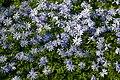 Anemone blanda 'Blue Shades' in St Mary's Church churchyard, Stapleford Tawney, Essex 01.jpg