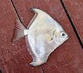 Angelfish Gambia.jpg