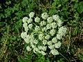 Angelica sylvestris subsp. sylvestris sl24.jpg