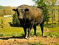 Angus-bull-van-buren-tn1.jpg