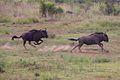Animals at Pilanesberg National Park 7.jpg