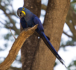 definition of macaw