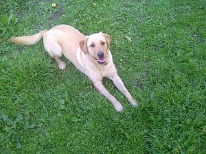English: A Labrador retriever.