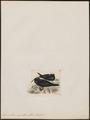 Anous leucocapillus - 1820-1860 - Print - Iconographia Zoologica - Special Collections University of Amsterdam - UBA01 IZ17900414.tif