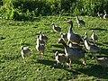 Anser anser -Utterslev Mose, Denmark -parents and goslings-8 (5).jpg