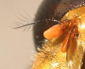 Morphology of Diptera - Image: Antenna aristate