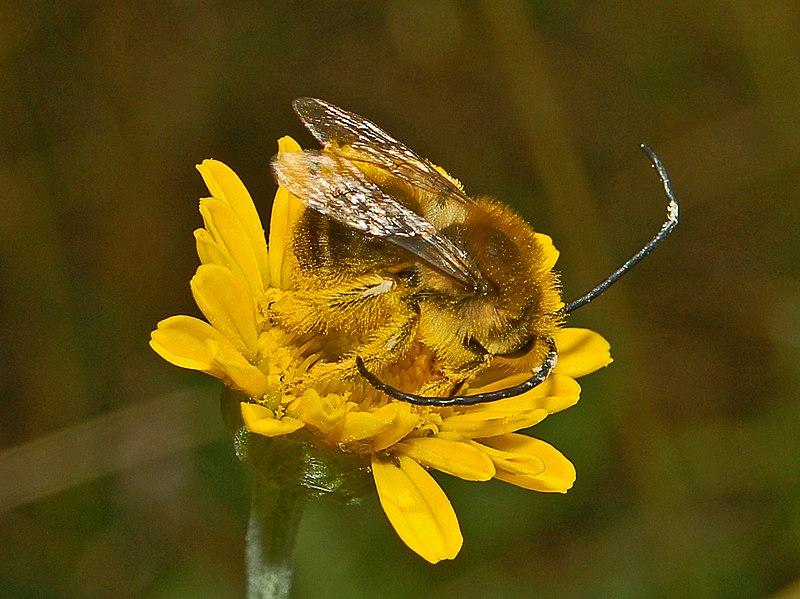 File:Apidae - Eucera sp. (male).JPG