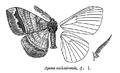 AponaCashmirensis.png