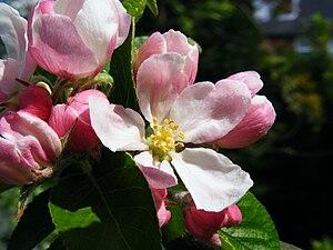 James Greve apple blossom