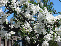 Appletree bloom l.jpg