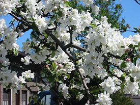 Яблоня какой вид растений
