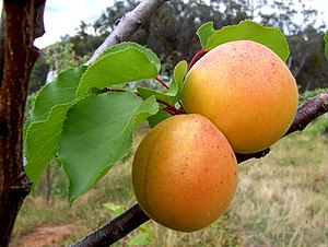 Prunus armeniaca - Apricot fruits