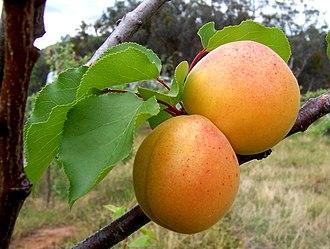 Prunus armeniaca - Apricot fruits