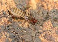 Arachnida, Schizomida, Hubbardia briggsi, adult female (8627013240).jpg