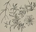 Arboretum et fruticetum britannicum, or - The trees and shrubs of Britain, native and foreign, hardy and half-hardy, pictorially and botanically delineated, and scientifically and popularly described (14780771291).jpg