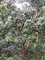 Arbutus canariensis kz3.JPG