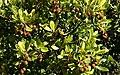 Arbutus unedo (hojas y frutos) (49097023237).jpg