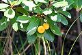 Arbutus unedo - Frutti 2.JPG