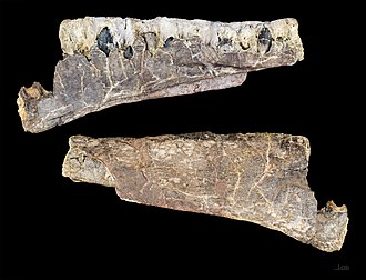 Archaeodontosaurus - Archaeodontosaurus descouensi right mandible