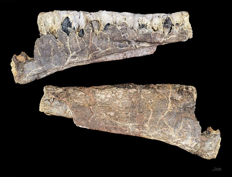 Archaeodontosaurus mandibule MHNT.PAL.2003.396