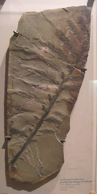 Archaeopteris hibernica (National Museum of Natural History, Smithsonian Institution, Washington, DC, USA).