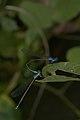 Archibasis oscillans-Kadavoor-2016-07-03-006.jpg