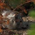 Arctic fox (4060384601) (3).jpg