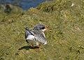 Arctic tern (14643246490).jpg
