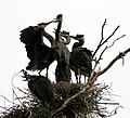 Ardea herodias at the nest 15.jpg