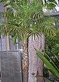 Arecaceae Phoenix roebelenii 2.jpg