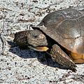 Armored Vegan (Gopher Tortoise) (6015592462).jpg