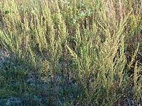 Artemisia biennis Biennial Wormwood