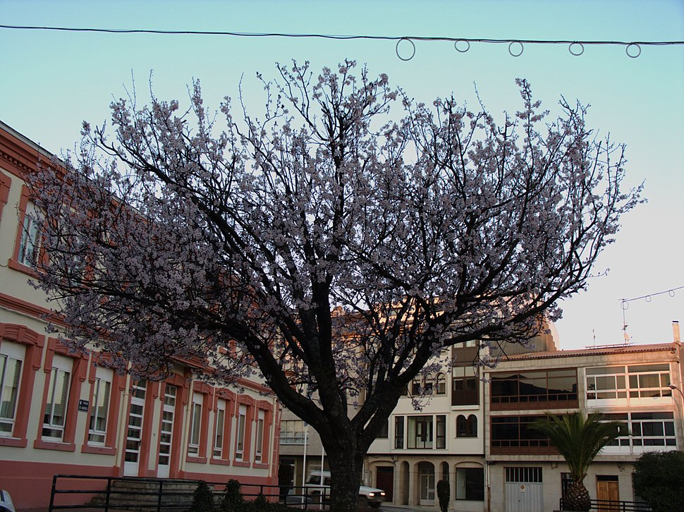 Árbore na Praza Vermella