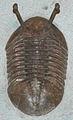 Asaphus kowalewskii fossil trilobite (Middle Ordovician; Volkhov River area, near St. Petersburg, far-western Russia) (15270893371).jpg