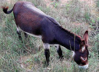 Balearic donkey - Image: Asetmallorquí