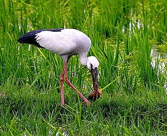 Mainpuri - Krouncha, sarus crane (Grus antigone)