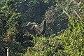 Asian Elephant, Teknaf.jpg