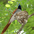 Asian Paradise Flycatcher (Terpsiphone paradisi)- male at nest W IMG 9318.jpg