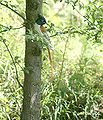 Asian Paradise Flycatcher I2 IMG 2974.jpg