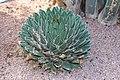 Asparagales - Agave victoriae-reginae - 1.jpg