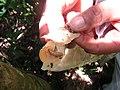 Aspidosperma spruceanum, gararoba - Flickr - Tarciso Leão (1).jpg