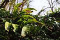Asplenium scolopendrium (Scolopendre) - W.Sandras.jpg