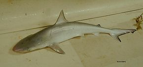 Description de l'image Atlantic sharpnose shark nmfs.jpg.